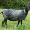 gotland wol
