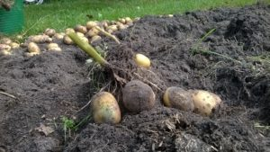 Aardappels kweken op je balkon?