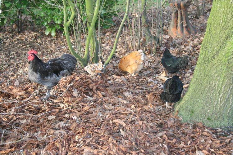 mijn kipjes