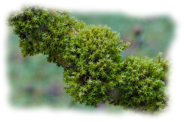 groene aanslag mos op tak